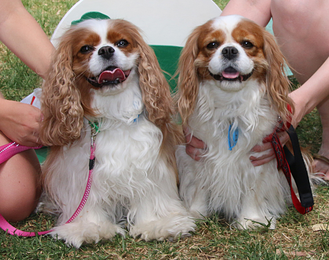 cavalier, king, charles, spaniel, capers, funday, matching, pair