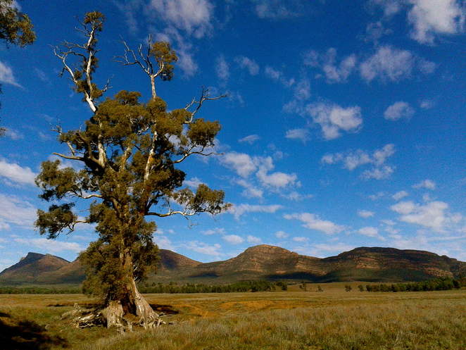 Cazneax's tree, Flinders Ranges, Wilpena Pound, Hawker, Blinman, River Red Gum