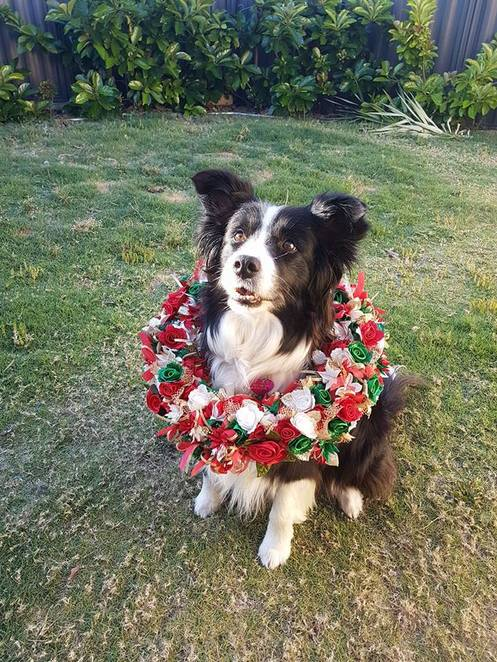 dog agility classes, perth agility, Bark complete canine care, dog christmas party, christmas events in perth, christmas for your dog