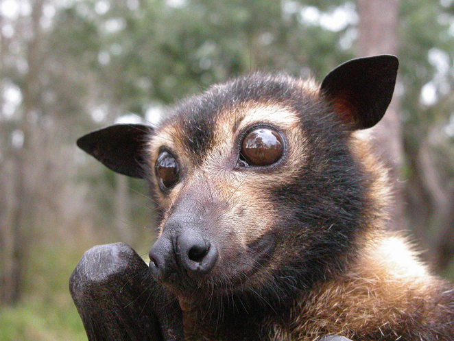 flying fox, CSIRO, bats, bats in australia, fruit bat, reasons to love bats