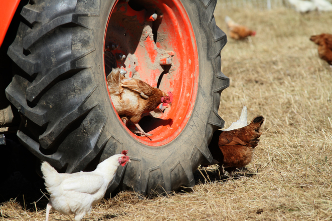 free range chocks, regenerative farming, ethical farming, cows, hens, free range eggs, daytrip, Glenburn, victoria, country, rural town, toms paddock, cows, paddocks,