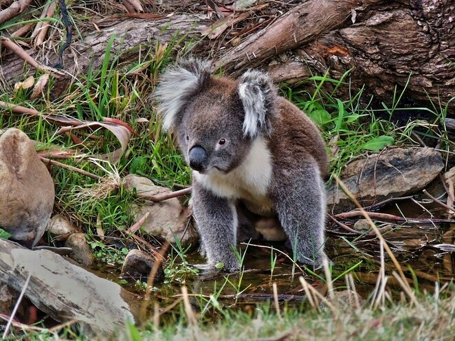 Historical Walks, Mitcham, Brownhill Creek, heritage, walks, free, Adelaide, koala