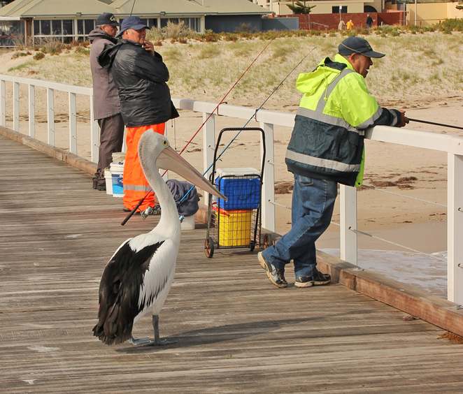 South Australian wildlife, South Australian tourism, Wildlife photography Wildlife stories, Grange, Grange jetty, pelican