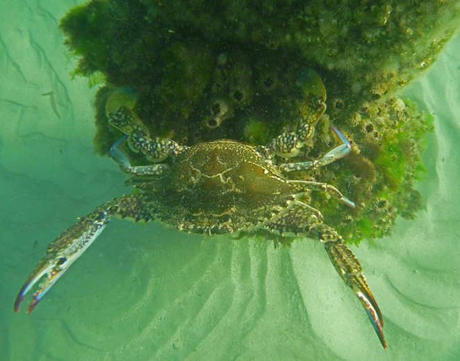 South Australian wildlife, wildlife photography, South Australian tourism, Adelaide tourism, Adelaide wildlife, South Australia nature, Semaphore, underwater, beach, blue swimmer crab