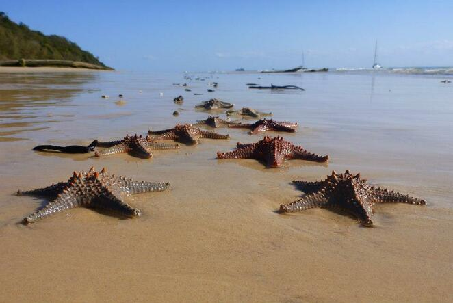 Seastars on the beach at Moreton Island
