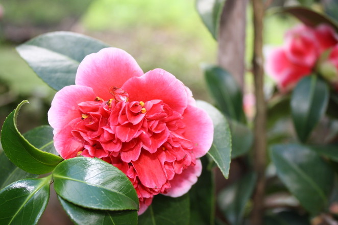 The featured camellia's at Newman's nursery