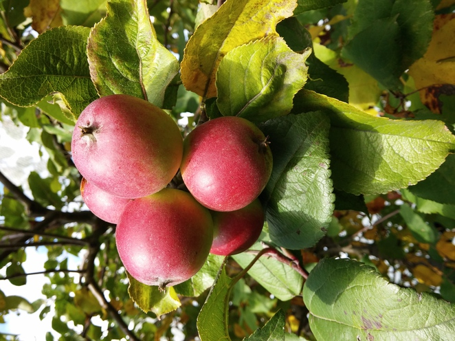 apple heritage orchard melbourne picking fruit outdoors tree red yum fresh
