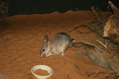 Bilbies were once common in south-western Australia, but due to the loss of their natural habitat are now endangered. Image is from Wikimedia Commons (by stephentrepreneur).