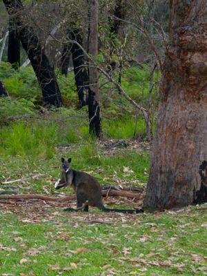 Friendly wallaby at Jervis Bay Marine Reserve