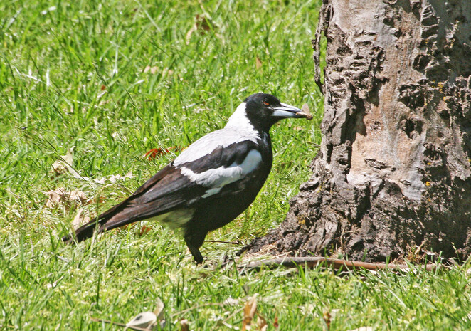 magpie with insect.