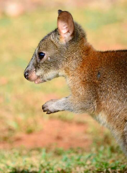 New South Wales National Parks protect Australia's precious wildlife and heritage, such as this pademelon joey