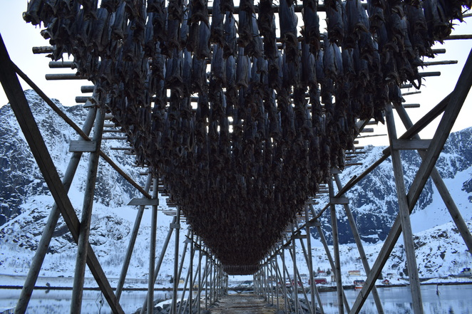stockfish, curing, fish, fishing, norway, scandinavia