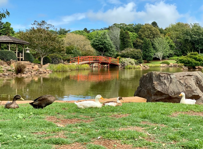 Ducks waiting for children to visit at the Japanese Gardens