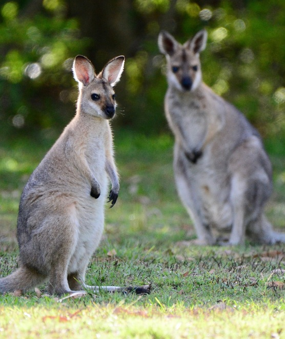 Rednecked wallabies and their joeys are often seen around the bioretention basin at sunrise