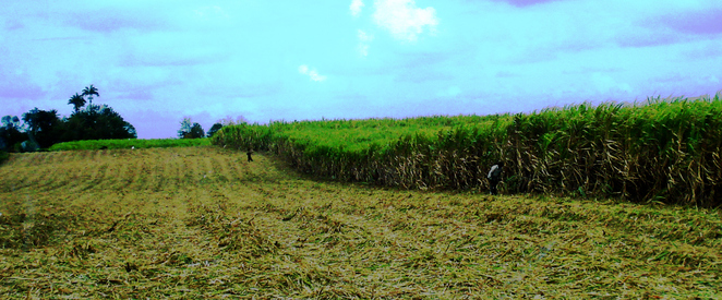 Workers in Sugar Cane field