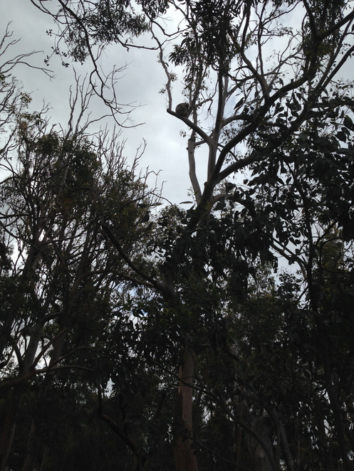 Yanchep National Park, koala
