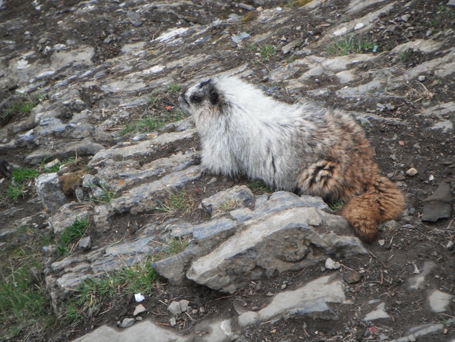 Alpine marmot, Sulphur Mountain