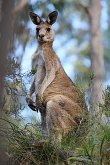 Eastern Grey Kangaroo, Euroka Clearing