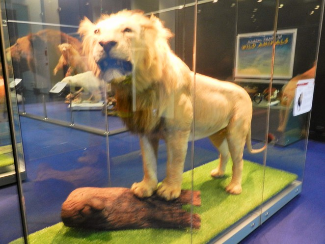 lion, taxidermy, museum, Museum of Tropical Queensland, Townsville, Queensland