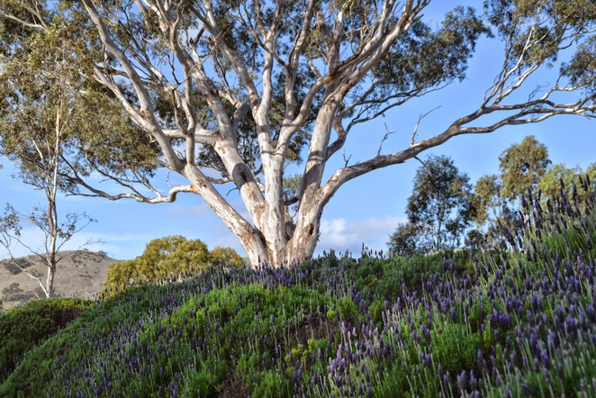 Lyndoch Lavender Farm, Barossa Helicopters, Table Cafe, Barossa Valley, Lyndoch, Farm Shop, English Lavender