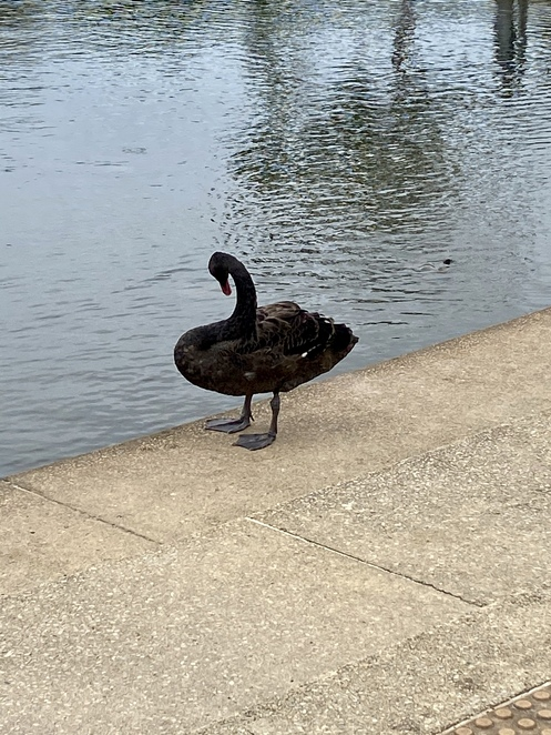 One of the black swans