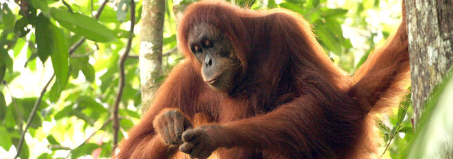 Orangutan, werribee, fundraising, walks