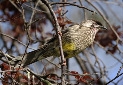 Red,wattlebird