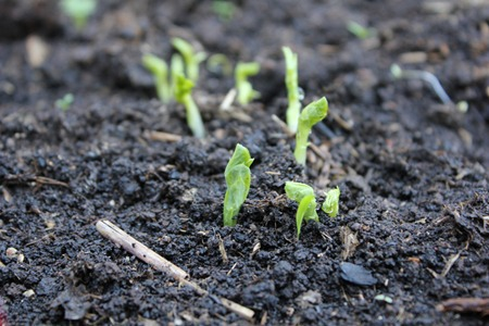 soil, healthy harvest, healthy, greens, plants, planting, sowing