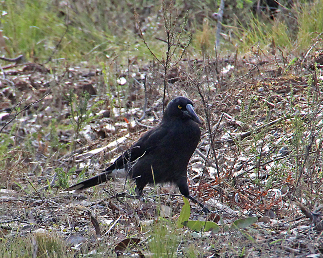 South Australian birds, South Australian tourism, Deep Creek Conservation Park, pied currawong