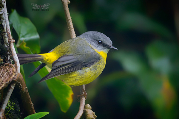 Tracie Louise, Eastern Yellow Robin, robin, bird, tiny, honeyeater, small, yellow, Queensland, beautiful,