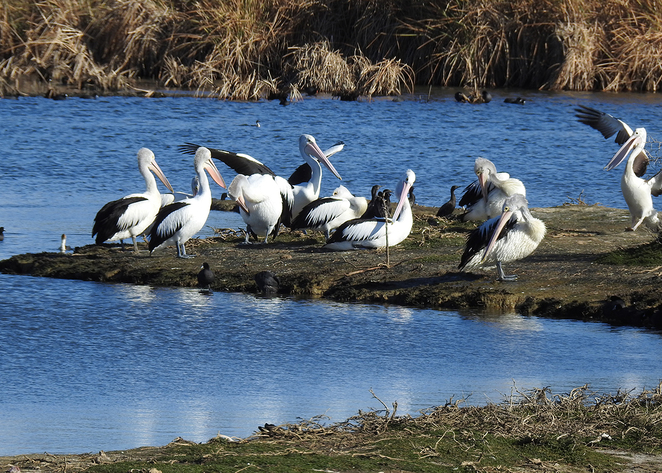 Wetlands, Barker inlet, South Australian wildlife, SA Tourism, Wildlife photography Wildlife stories, nature, pelicans,