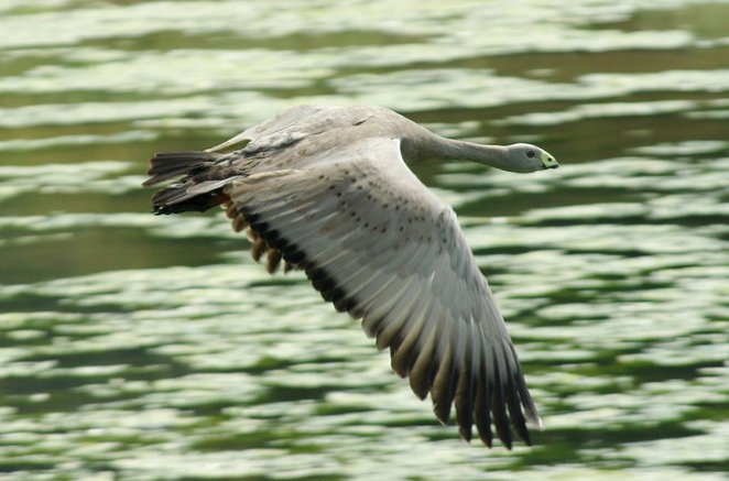 Cape Barren Goose at the Western Treatment Plant