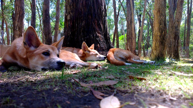cleland wildlife park, dingoes, dingo pups, native animals, australian animals, south australia, tourist attractions