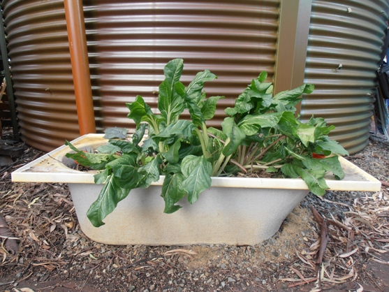 A recycled bathtub makes an ideal planting vessel at the Earthwise Community Garden.