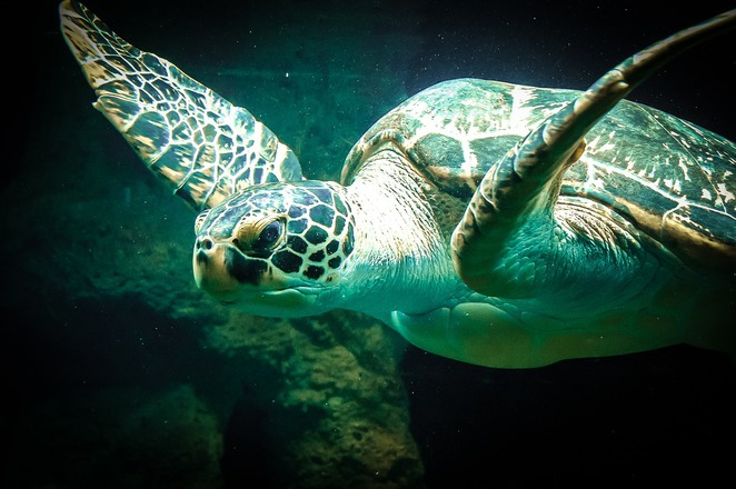 turtle,water,ocean,blue