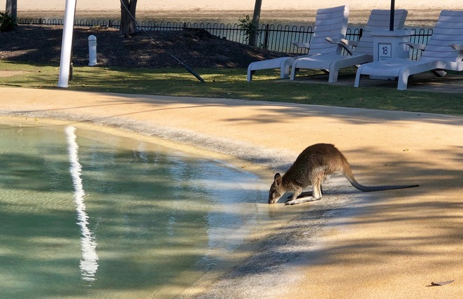 Wallaby visiting the pool area at Couran Cove