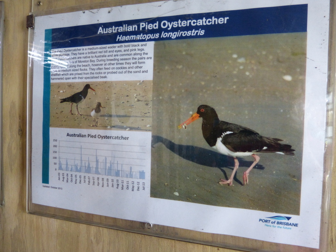create-a-tour, POrt of Brisbane Wetlands shorebird roost, Pied Oystercatcher