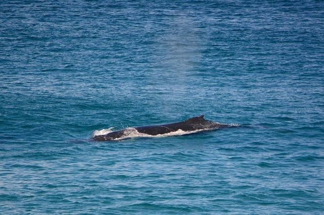 Whales passing Cylinder Beach