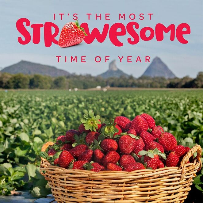 Eight of the best PYO strawberry farms in QLD, McMartin's Strawberry Farm and Strawberry Lane Ice Creamery, Bli Bli, Maroochy Wetlands Sanctuary, Maroochy River, Maleny Milk, Devonshire teas, markets, Strawberry Fields, Palmview, Rolin Farms, Elimbah, orchids, Chambers Flats Strawberry Farm, Tinaberries, Bundaberg, family-run farms, Ashbern Farms, organic summer strawberries, Stanthorpe, colder region, Cooloola Berries, Gympie, farm gate to plate, award winning, blueberry picking, strawberry cider, blueberry cider, Paella in the Park, wedding venue, SSS Strawberries, North Bundaberg, high nutrition value, vitamin C, folate, fibre, low in sugars, no saturated fat, low calories, potassium, heart happy, immune system fighting fit, dose Vitamin D, outdoor family fun