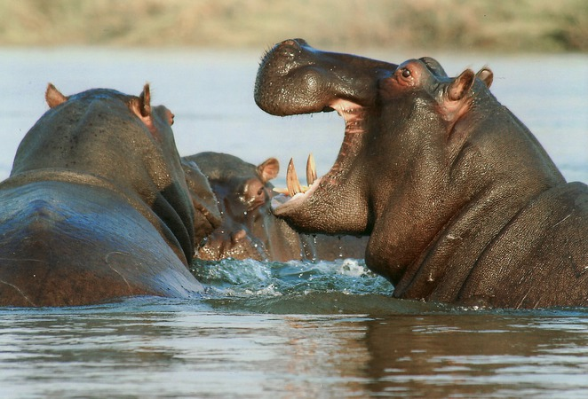 Hippo, water,
