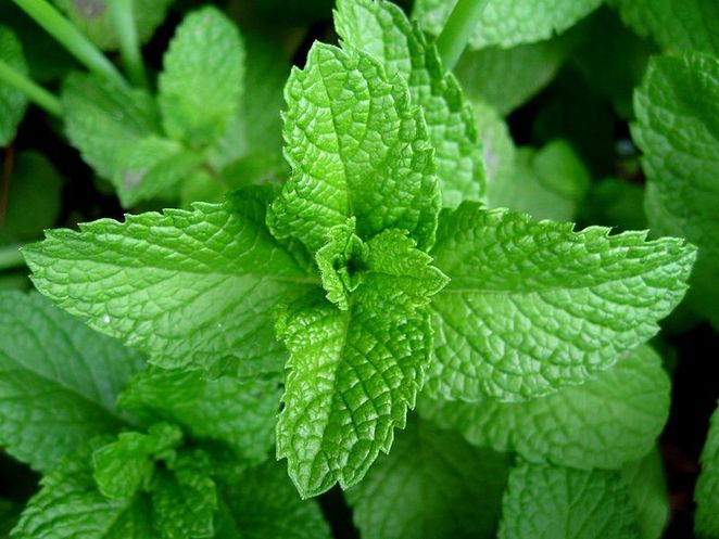 mint, herbal tea, herbs for making your own tea