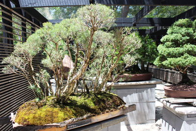 national bonsai collection, national peijing collection, small trees, national arboretum, australias largest bonsai collection