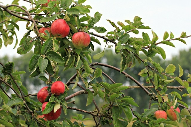 picking,apples