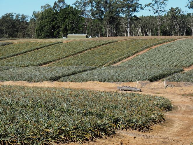 Pinapples, pineapple plantation