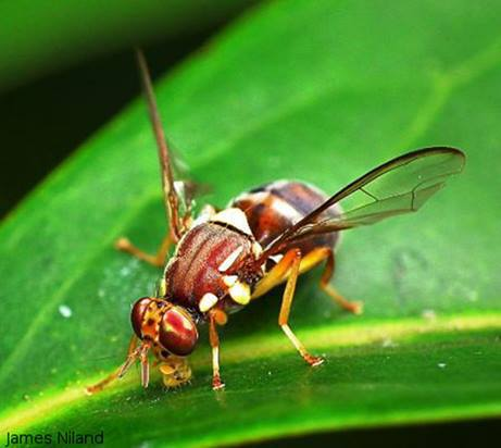 Queensland fruit fly, Bactrocera tryoni, Yarra Valley fruit, fruit fly, damage, controlling fruit fly, fruitfly sprays, Agribusiness Yarra Valley, fruit fly tomato, fruit fly net