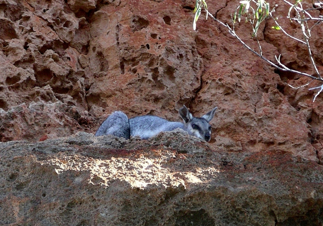 Rock Wallaby - Yardie Creek