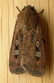 Bogon Moth