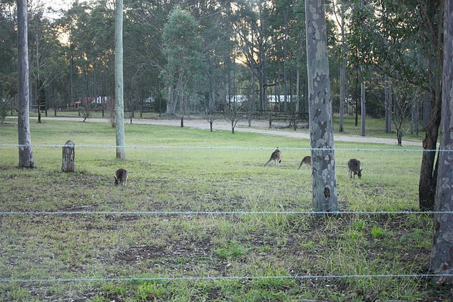 Hunter Valley Kangaroo spotting