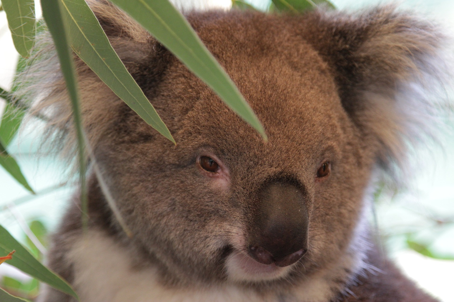 9 Places To See Koalas In The Wild Melbourne