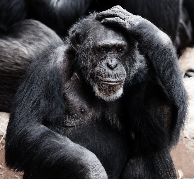monkey, chimpanzee, thinking